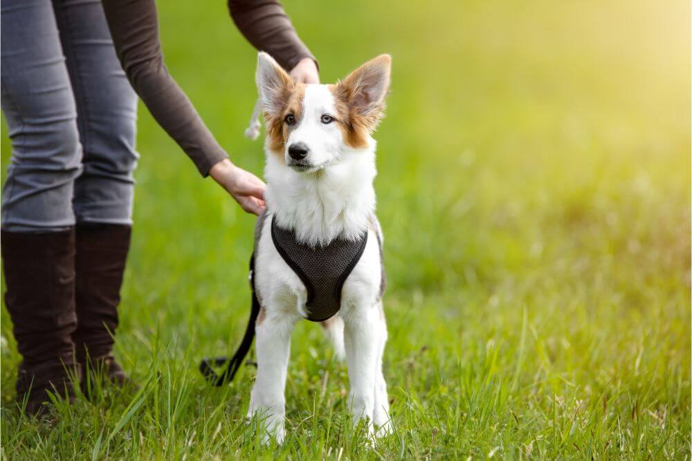 What is the Recommended Space Between a Dog's Collar and Their Neck?