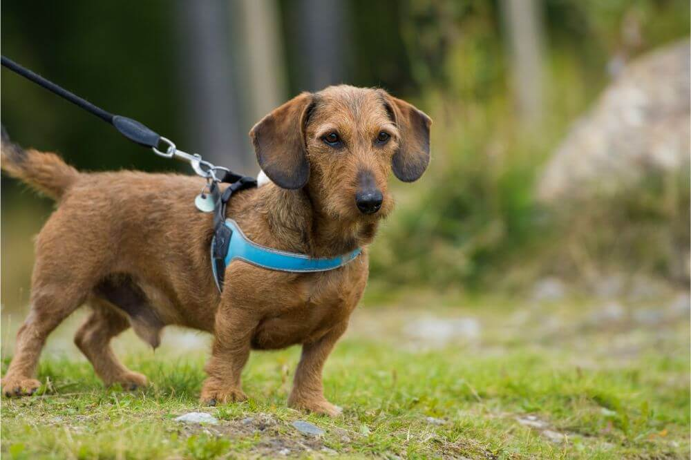 How Tight Should a Dog Harness Be?