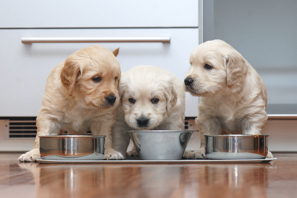is it ok to give a puppy regular dog food